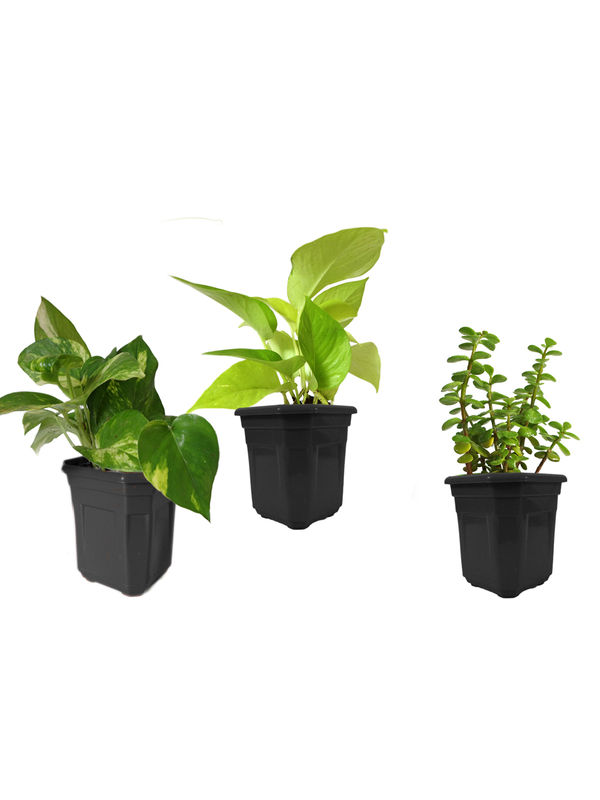 Money Plant Golden Pothos and Jade Combo of Good Luck Plants in Black Hexa Pot