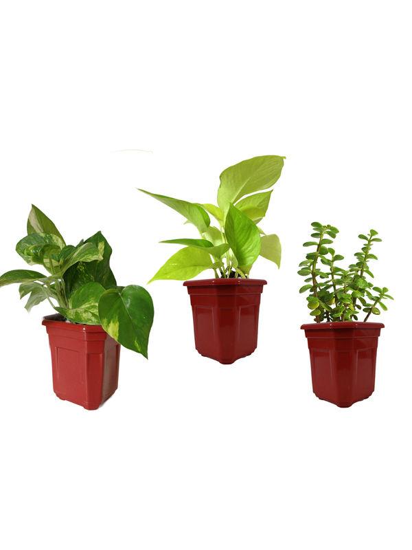 Money Plant Golden Pothos and Jade Combo of Good Luck Plants in Maroon Hexa Pot