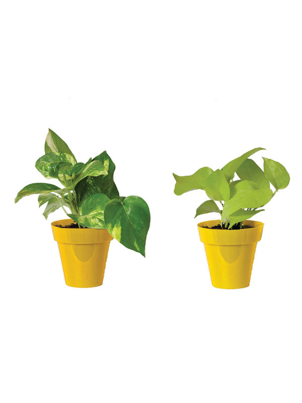Rolling Nature Combo of Good Luck Money Plant and Golden Pothos in Small Yellow Colorista Pot