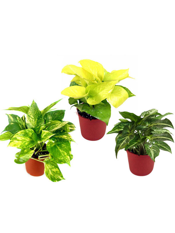 Combo of Good Luck Money Plant, Golden Pothos and Syngonium Green