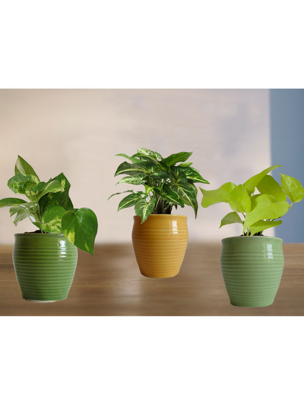 Combo of Good Luck Money Plant, Golden Pothos and Syngonium Green in Green or Light Green and Yellow Iris Ceramic Pot