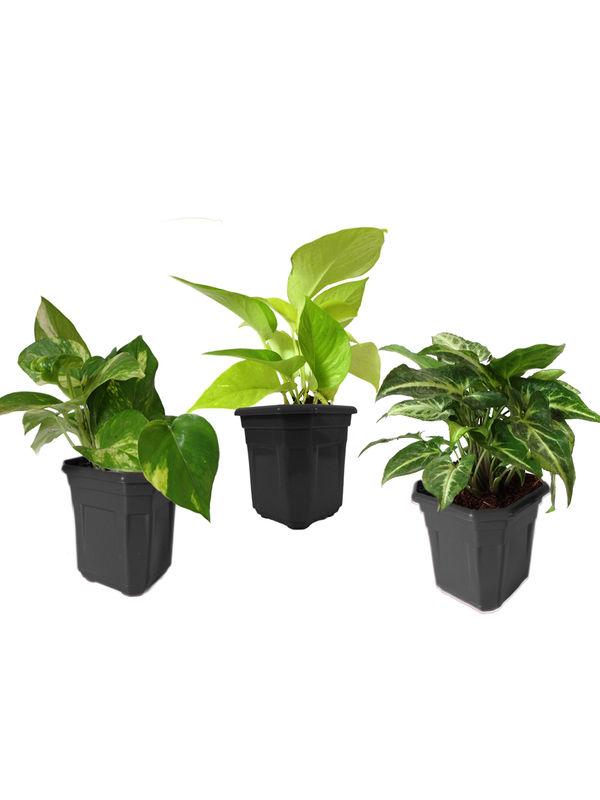 Combo of Good Luck Money Plant, Golden Pothos and Syngonium Green in Black Hexa Pot