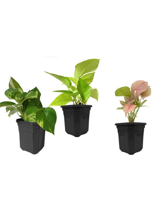 Combo of Good Luck Money Plant, Golden Pothos and Syngonium Pink in Black Hexa Pot