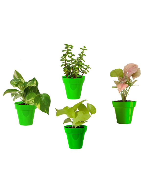 Rolling Nature Combo of Good Luck Money Plant, Golden Pothos, Pink Syngonium and Jade in Small Green Colorista Pot