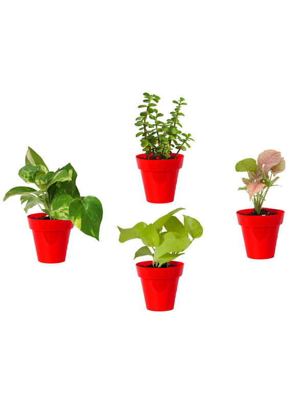 Rolling Nature Combo of Good Luck Money Plant, Golden Pothos, Pink Syngonium and Jade in Small Red Colorista Pot