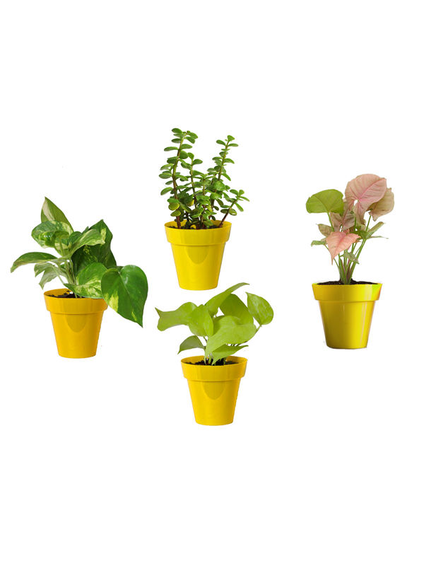 Rolling Nature Combo of Good Luck Money Plant, Golden Pothos, Pink Syngonium and Jade in Small Yellow Colorista Pot