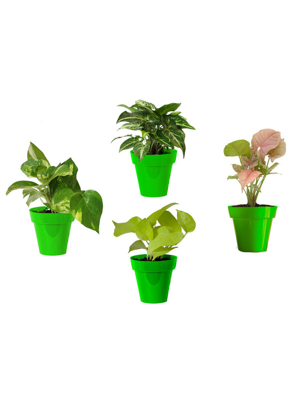 Rolling Nature Combo of Good Luck Money Plant, Golden Pothos, Pink Syngonium and Syngonium Green in Small Green Colorista Pot
