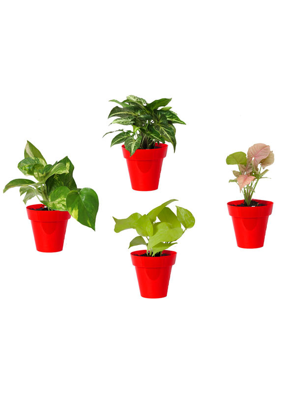 Rolling Nature Combo of Good Luck Money Plant, Golden Pothos, Pink Syngonium and Syngonium Green in Small Red Colorista Pot