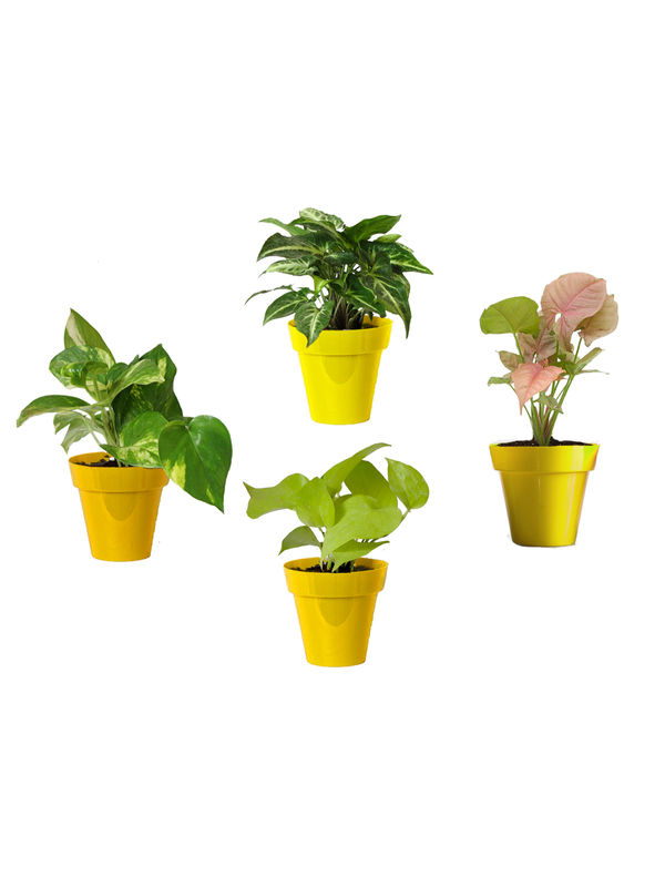 Rolling Nature Combo of Good Luck Money Plant, Golden Pothos, Pink Syngonium and Syngonium Green in Small Yellow Colorista Pot