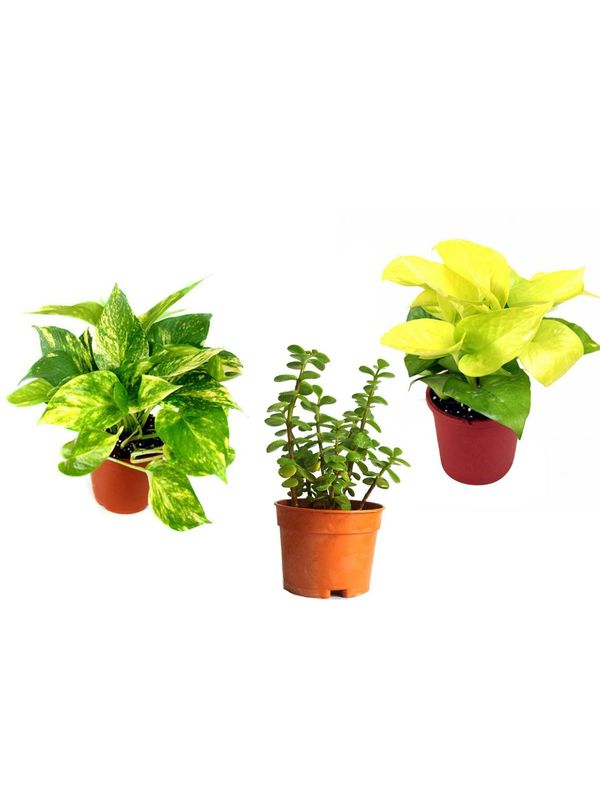 Money Plant Golden Pothos and Jade Combo of Good Luck Plants