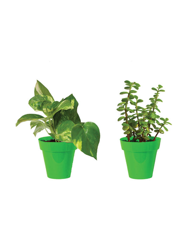 Rolling Nature Combo of Good Luck Money Plant and Jade in Small Green Colorista Pot