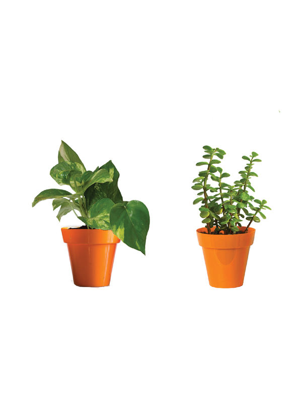 Rolling Nature Combo of Good Luck Money Plant and Jade in Small Orange Colorista Pot