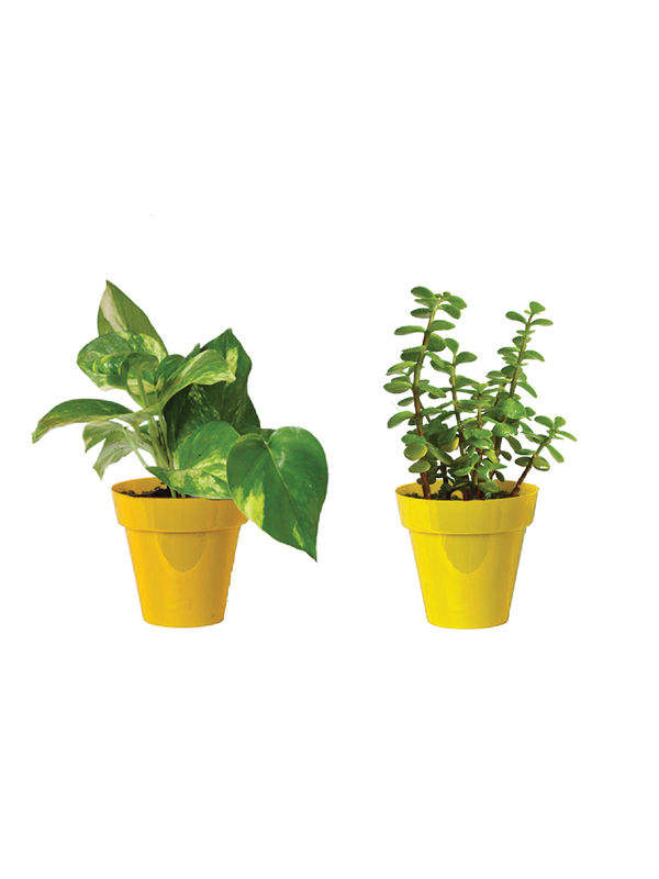 Rolling Nature Combo of Good Luck Money Plant and Jade in Small Yellow Colorista Pot
