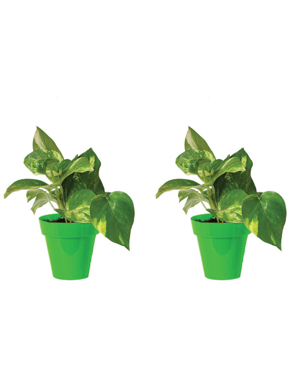 Rolling Nature Combo of Good Luck Money Plant in Small Green Colorista Pot Set of 2