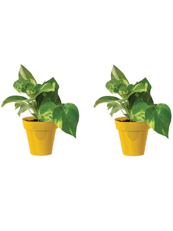 Rolling Nature Combo of Good Luck Money Plant in Small Yellow Colorista Pot Set of 2