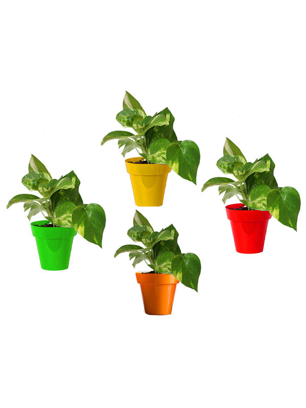 Rolling Nature Combo of Good Luck Money Plant in Small Red, Green, Yellow and Orange Colorista