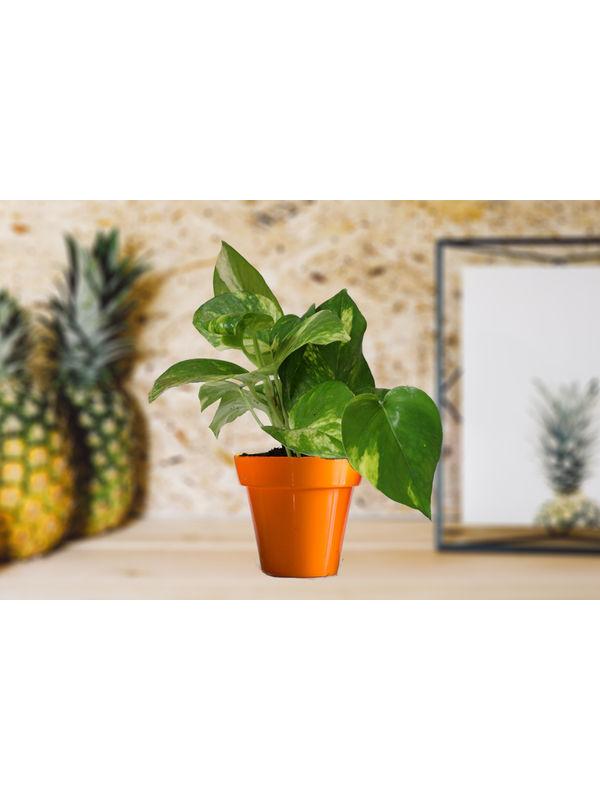Good Luck Money Plant in Small Orange Colorista Pot