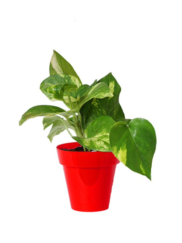Rolling Nature Good Luck Money Plant in Small Red Colorista Pot