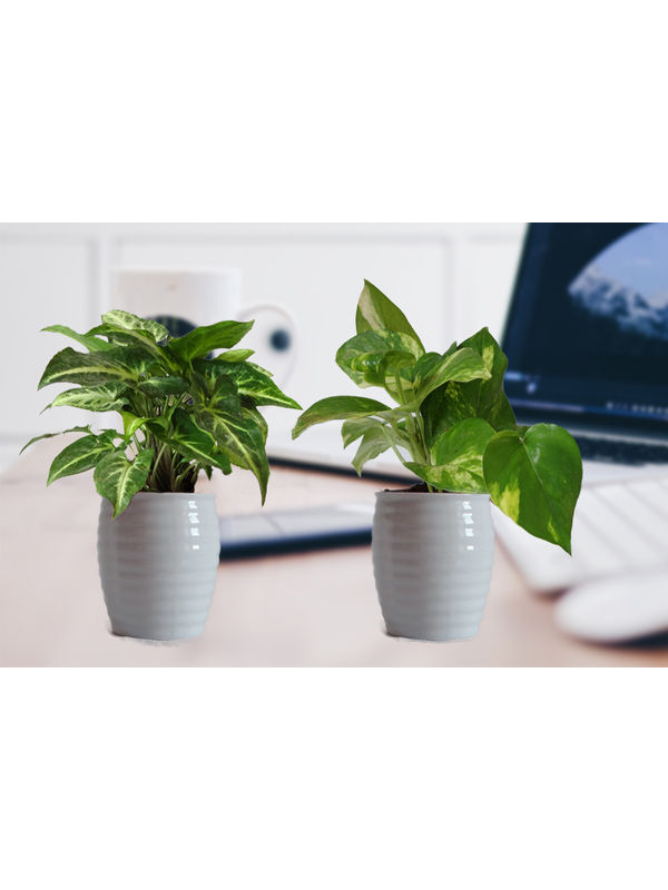 Combo of Good Luck Money Plant and Green Syngonium in White Ceramic Pot