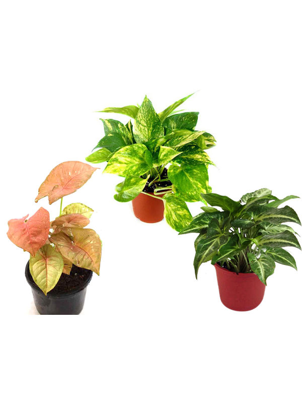 Combo of Good Luck Money Plant, Pink Syngonium and Syngonium Green
