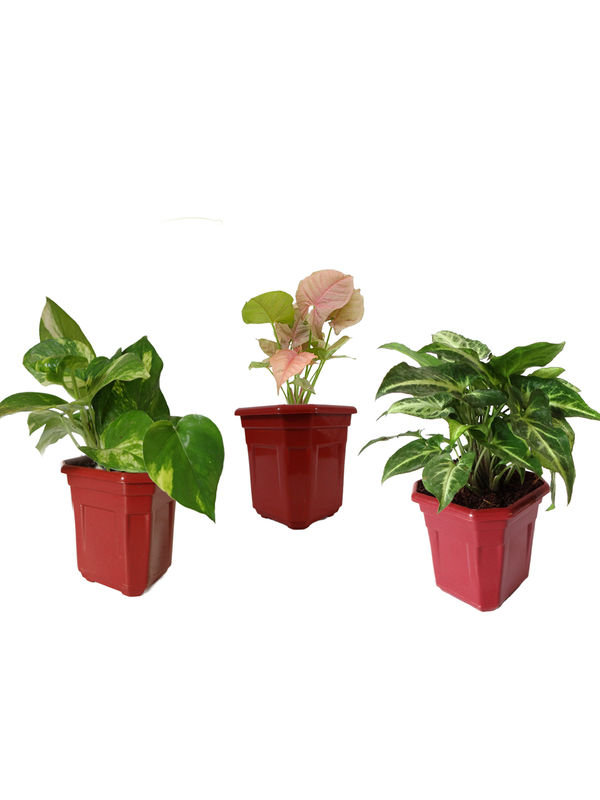 Combo of Good Luck Money Plant, Pink Syngonium and Syngonium Green in Maroon Hexa Pot