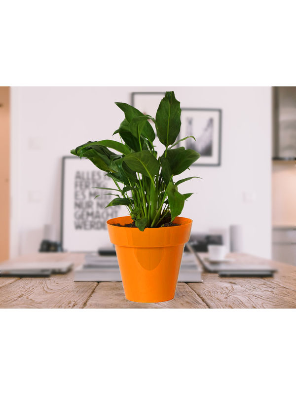 Good Luck Peace Lily in Orange Colorista Pot