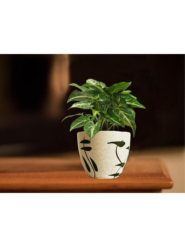 Good Luck Green Syngonium Plant in Cream Aroez Ceramic Pot