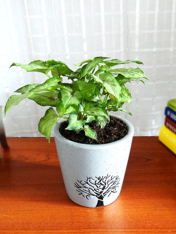 Good Luck Green Syngonium Plant White Bucket Aroez Ceramic Pot
