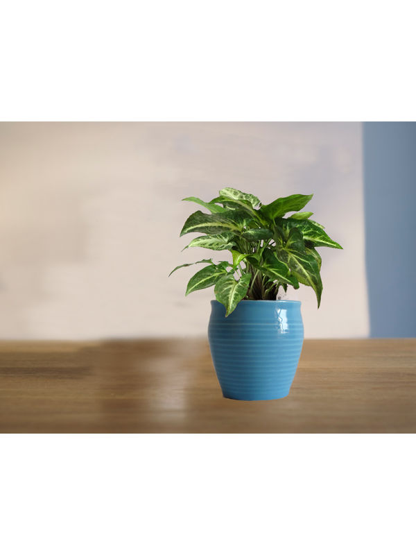Good Luck Green Syngonium Plant in Blue Iris Ceramic Pot
