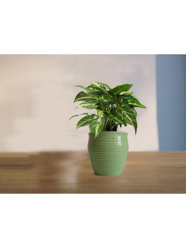 Good Luck Green Syngonium Plant (Green or Light Green or Yellow) Iris Ceramic Pot