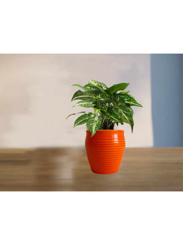 Good Luck Green Syngonium Plant (Red or Orange or Brown) Iris Ceramic Pot
