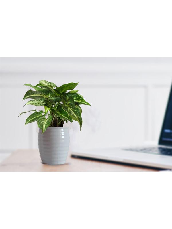 Good Luck Green Syngonium Plant in White Ceramic Pot