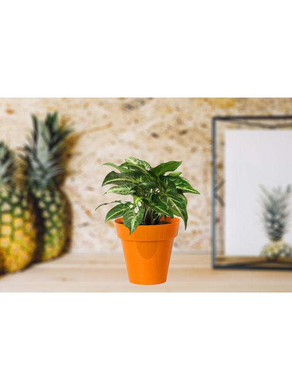 Good Luck Green Syngonium in Small Orange Colorista Pot