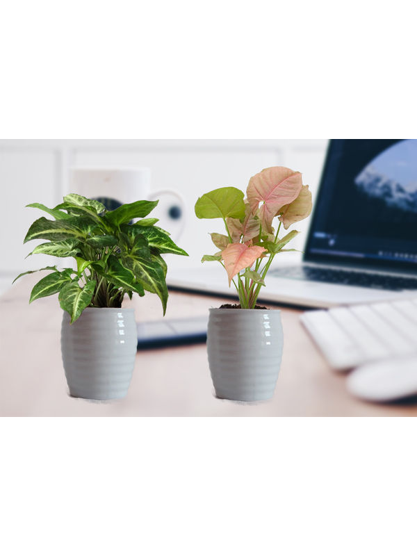 Combo of Good Luck Pink and Green Syngonium in White Ceramic Pot