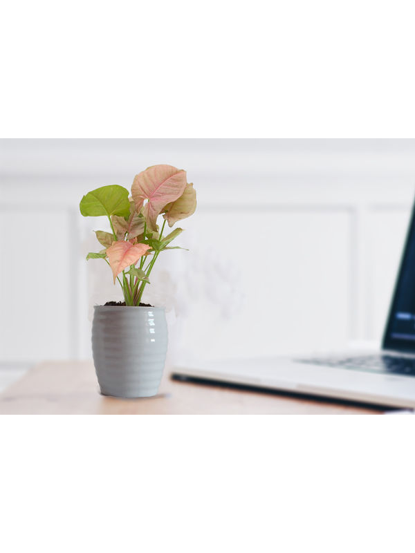 Good Luck Pink Syngonium Plant in White Ceramic Pot