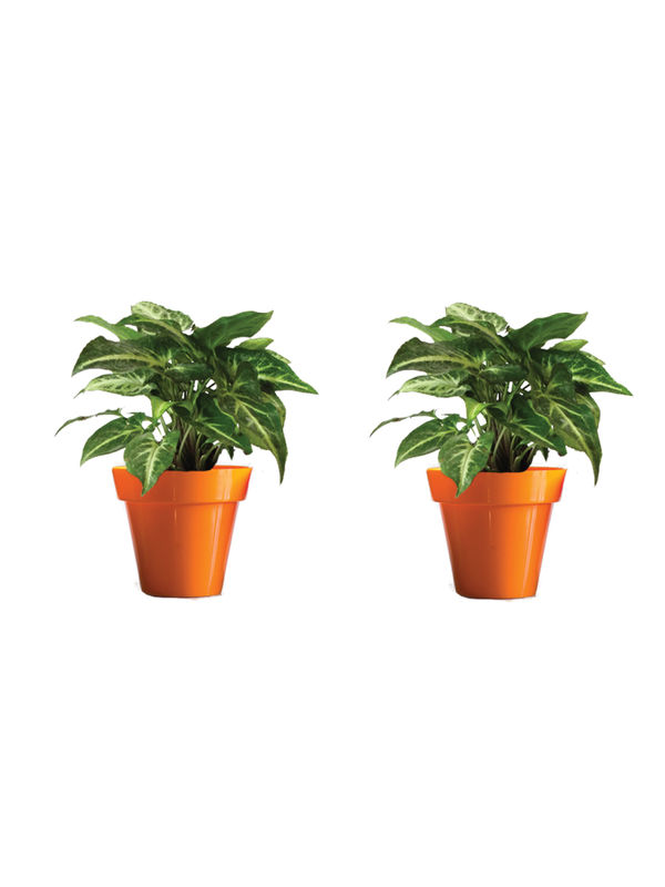Rolling Nature Combo of Good Luck Syngonium Green Plant in Small Orange Colorista Pot Set of 2