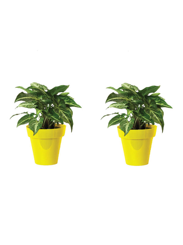 Rolling Nature Combo of Good Luck Syngonium Green Plant in Small Yellow Colorista Pot Set of 2