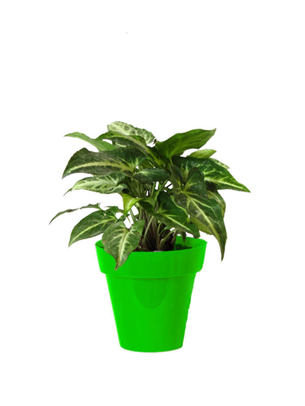Rolling Nature Good Luck Green Syngonium Plant Small Green Colorista Pot