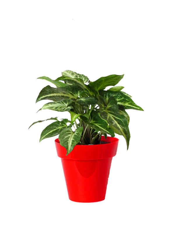 Rolling Nature Good Luck Green Syngonium Plant Small Red Colorista Pot