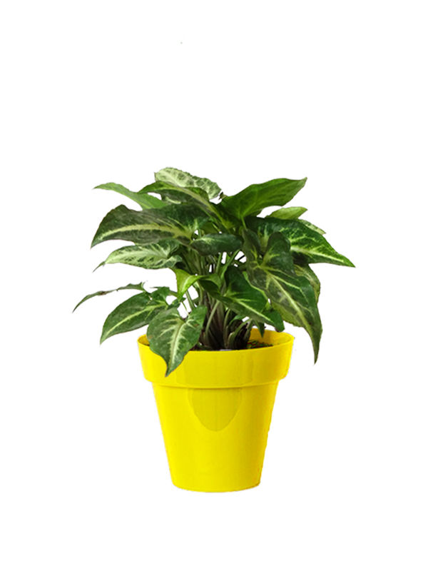 Rolling Nature Good Luck Green Syngonium Plant Small Yellow Colorista Pot