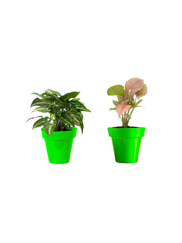 Rolling Nature Combo of Good Luck Syngonium Green and Syngonium Pink in Small Green Colorista Pot
