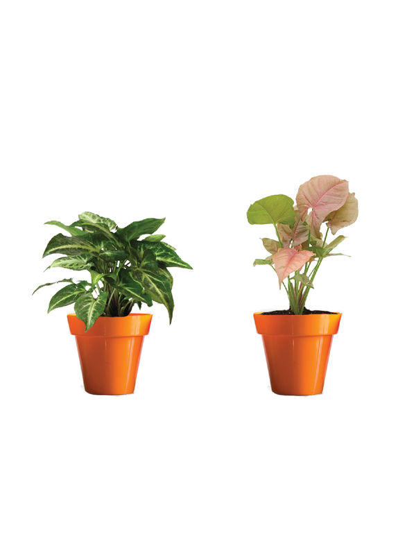 Rolling Nature Combo of Good Luck Syngonium Green and Syngonium Pink in Small Orange Colorista Pot