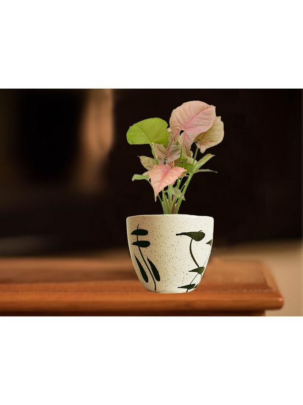 Good Luck Pink Syngonium Plant in Cream Aroez Ceramic Pot
