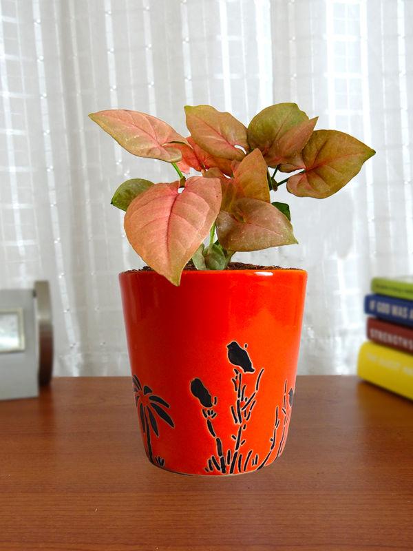 Good Luck Pink Syngonium Plant in Orange Bucket Aroez Ceramic Pot