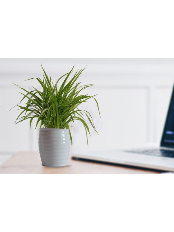 Air Purifying Spider Plant in White Ceramic Pot