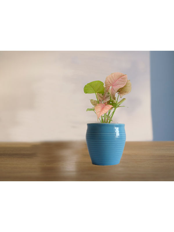 Good Luck Pink Syngonium Plant in Blue Iris Ceramic Pot