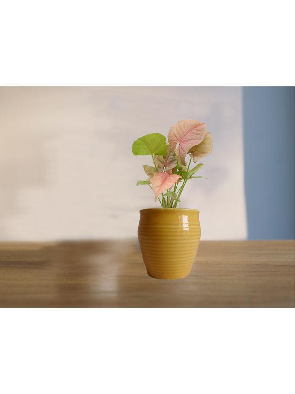 Good Luck Pink Syngonium Plant in (Green or Light Green or Yellow) Iris Ceramic Pot