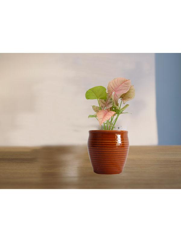 Good Luck Pink Syngonium Plant in (Red or Orange or Brown) Iris Ceramic Pot