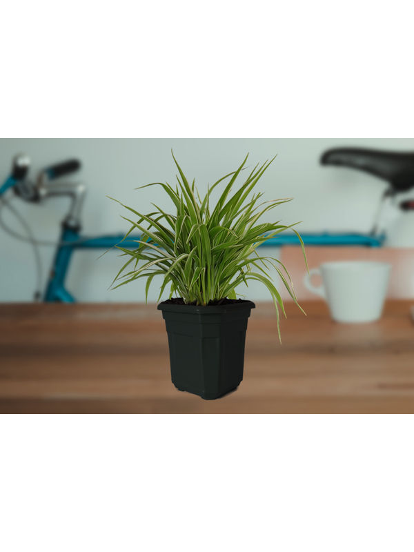 Air Purifying Spider Plant in Black Hexa Pot