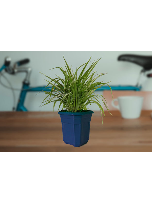 Air Purifying Spider Plant in Blue Hexa Pot